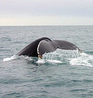 Baltimore_whales