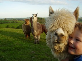 Drimoleague_alpaca_farm